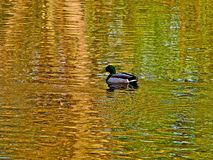 On Golden Pond Royalty Free Stock Images