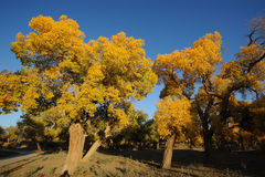 Golden poplar tree under blue sky Stock Photography