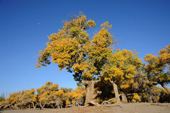 Golden poplar tree under blue sky. Golden poplar trees in autumn, located in Inner Mongolia Ejinaqi, China stock image
