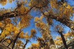 Golden poplar tree under blue sky Stock Photos