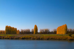 Golden Poplar Trees Royalty Free Stock Photos