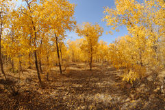 Golden poplar trees Stock Photo