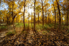 Golden poplar trees Royalty Free Stock Photography