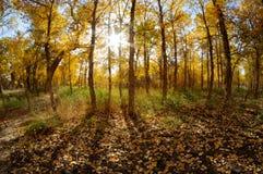 Golden poplar trees Royalty Free Stock Photography