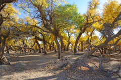 Golden poplar trees. In autumn, located in Inner Mongolia Ejinaqi, China Royalty Free Stock Photography