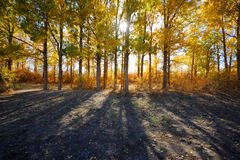 Golden poplar trees on the backlight Royalty Free Stock Photos
