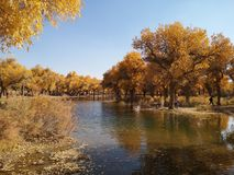 Populus euphratica trees. Located in Ejina area in Inner Mongolia, China royalty free stock photography