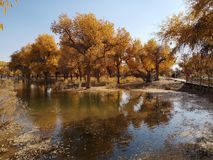 Populus euphratica trees. Golden poplar trees , located in Ejina area in Inner Mongolia, China royalty free stock image