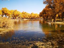 Populus euphratica trees. Located in Ejina area in Inner Mongolia, China stock image