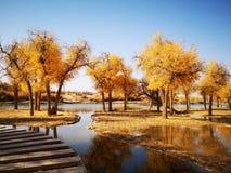 populus euphratica trees stock images
