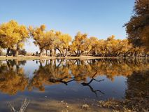 Populus euphratica trees. Located in Ejina area in Inner Mongolia, China royalty free stock image