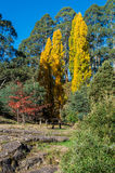 Golden poplar trees near Woods Point, Australia Stock Photos