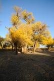 Golden poplar trees Royalty Free Stock Photos