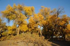 Golden poplar trees Stock Photos