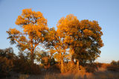 Golden poplar trees Royalty Free Stock Images