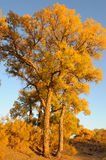 Golden poplar trees Stock Images
