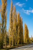 Golden poplars near the road Royalty Free Stock Image