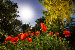 Golden poppies Royalty Free Stock Photo