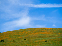 Golden Poppies. Sky and field of golden poppies, California Stock Photography