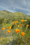 Golden poppies towering above the spring hills Royalty Free Stock Photos