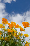 Golden poppies under a summer sky royalty free stock photo