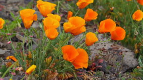 Golden Poppy Blooming Spring in Maryhill WA on a Windy Day Stock Photography