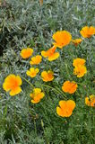 Golden Poppy (Eschscholzia californica) Royalty Free Stock Photo