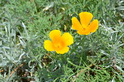 Golden Poppy (Eschscholzia californica) Royalty Free Stock Image