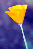 Golden Poppy. Flower on a blue background royalty free stock photography