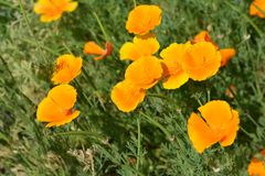 Golden poppy flower. Close up of a golden poppy flower - Latin name Eschscholzia californica stock photography