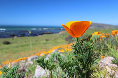 Golden poppy flowers along Pacific Ocean, Big Sur, California, USA Stock Photos