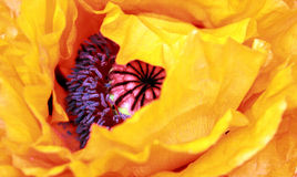 Golden Poppy. Macro of Golden Poppy, selective focus stock photos