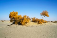 Free Golden Populus In Desert With Blue Sky In Autumn Stock Photo - 163355420