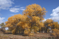 Golden Populus tree. In the autumn Stock Photography