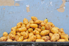 Golden Potatoes in a Basket Royalty Free Stock Photo