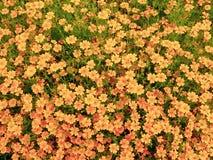 Golden potentilla flowers royalty free stock photo