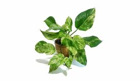 Golden pothos in the basket on wood ,Epipremnum aureum in pot isolated on white background. Drevi`s ivy with copy space Stock Photography