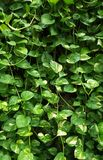Golden pothos climbing. On the cement wall in the park.Epipremnum aureum ,Devil`s ivy, Hunter`s-robe Royalty Free Stock Image