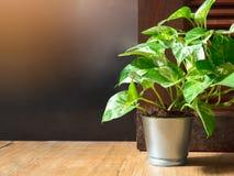 Golden pothos Epipremnum aureum in a aluminum pot on wood ceramic tile floor in front of door with copy space. Devil`s ivy is