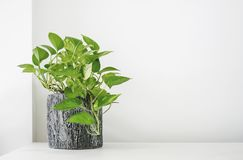 Golden pothos or Epipremnum aureum on white table. In the living room home and garden Royalty Free Stock Photo