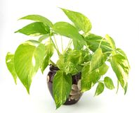 Golden pothos. Grown in Ceramic pots Royalty Free Stock Photos