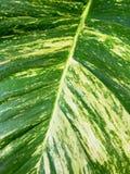 Golden Pothos Leaf Texture Royalty Free Stock Image