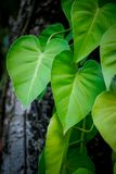 Golden pothos leaf. On tree Royalty Free Stock Photography