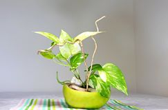 A  golden pothos  planted in a shell of Citrus sweety fruit. A golden pothos planted in an empty shell of Citrus sweety fruit Royalty Free Stock Photos