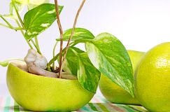 A  golden pothos  planted in a shell of Citrus sweety fruit. A golden pothos planted in an empty shell of Citrus sweety fruit Stock Photos