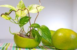 A golden pothos planted in a shell of Citrus sweety fruit. A golden pothos planted in an empty shell of Citrus sweety fruit Stock Image