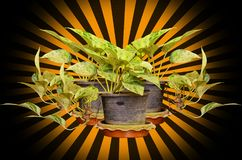 Golden pothos in plastic pot Royalty Free Stock Images