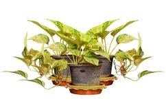 Golden pothos in plastic pot Royalty Free Stock Photo