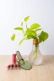 Golden Pothos in a pot Stock Photo