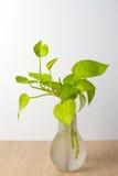 Golden Pothos in a pot Stock Photography